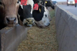 Cattle require on a mix of protein, carbohydrates, fats, minerals and vitamins to help them thrive and grow.