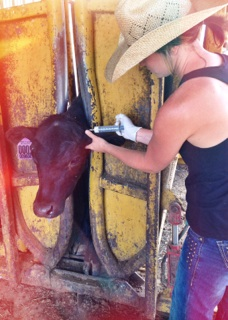 antibiotics used in cattle Requirements of antibiotics used for the treatment of uterine infections criteria acute metritis clinical and subclinical endometritis.