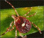 The Lone Star tick is recognizable because of the white dot on its back. Source: CDC