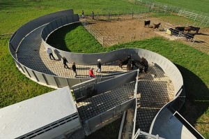 An example of a serpentine ramp to move cattle calmlly, developed by Temple Grandin