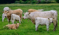 Charolais cows and calves - Photo courtesy: Flickr, Creative Commons, Edith Mari Rosebrock