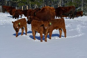 red-angus-cows